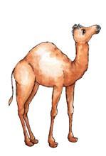 Kamel / camel 0921